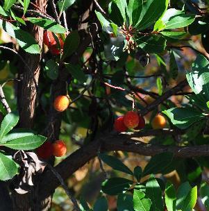 pepini res d 39 arbres fruitiers en belgique