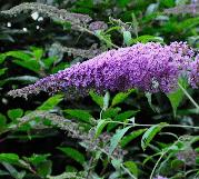 Buddlejakatriensterken5