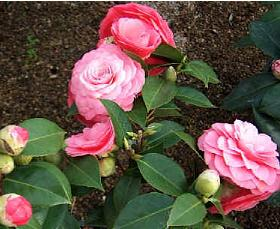Camelia-japonica-Mrs-Tingley-flowers