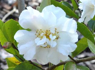 Camellia-sasanqua-Gay-Sue-closeup-flower