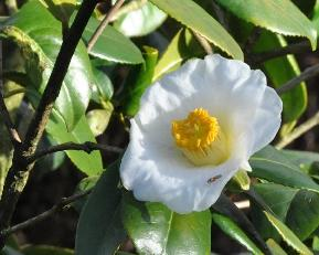 CamelliajaponicaMmeLourmand