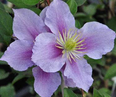 Clematis-Nelly-Moser1
