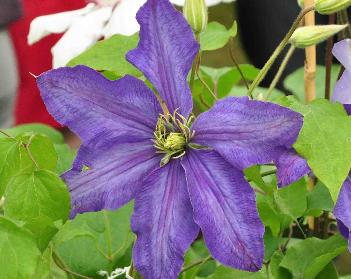 Clematis-Rhapsody