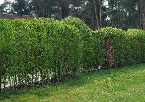 Tuin Hagen Soorten : Haagsoorten in de tuin