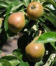 oude fruitbomen kopen