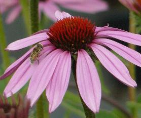 Planten Voor Bijen.Bijenvriendelijke Planten En Bloemen