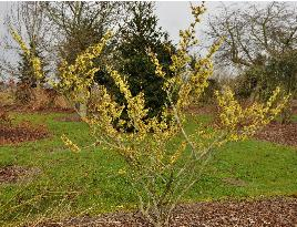 Hamamelis_x_intermedia_Angelly