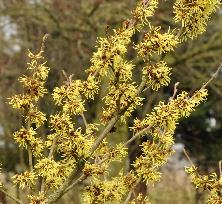 Hamamelis_x_intermedia_AngellyVN