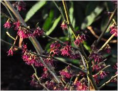 Hamamelis 'Amethyst' Shadow USA 2003 vn2