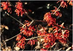 Hamamelis x intermedia 'Carmine Red' vnn