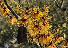 Hamamelis x intermedia 'Harry de Belder' (BE) 1988 flowers