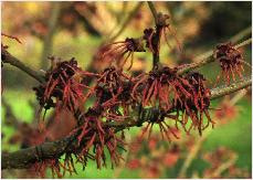 Hamamelis x intermedia 'Hiltingbury' Hiller (UK) 1945