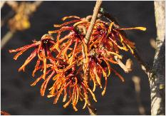 Hamamelis x intermedia 'Rolena' new selection from 'Jelena'