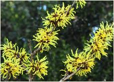 Hamamelis x intermedia 'Angelly' vn