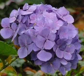 Hydrangea-Holehird-Purple-picture-of-flowers-end-october-2010