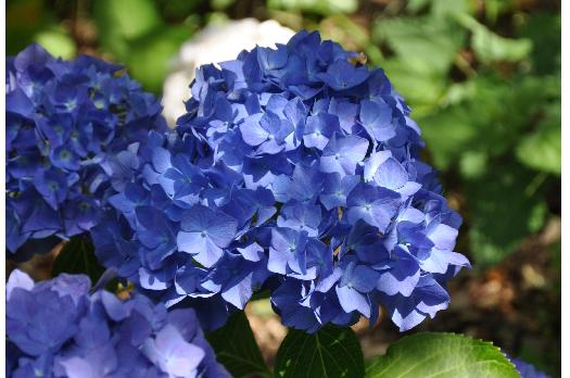 Hydrangea-macrophylla-Holehird-Purple-flower-picture-middle-of-july