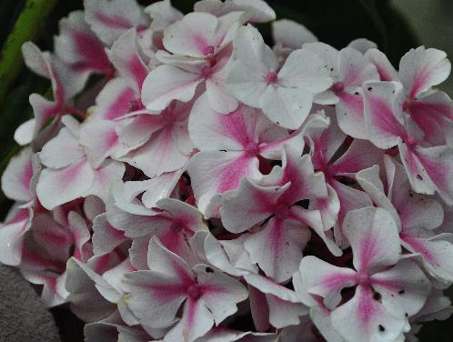 hydrangea macrophylla 39 endless summer 39 the bride. Black Bedroom Furniture Sets. Home Design Ideas