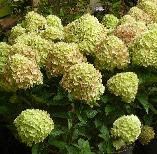 Hydrangea paniculata 'Little Lime' syn 'Jane' 5