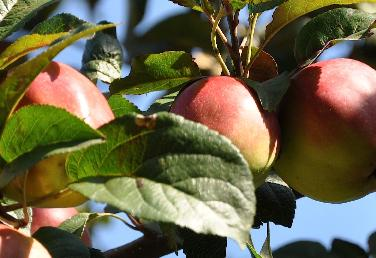 coing fruit maladie