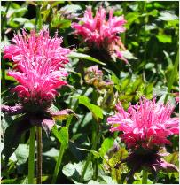 Monarda 'Marshalls Delight' closeup vn