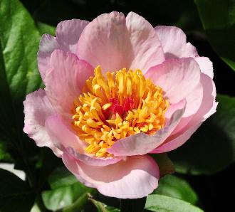 geel roze bloem