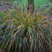 Pennisetum-alopecuroides-Moudry-vn