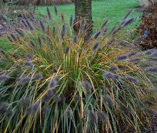 Pennisetum alopecuroides 'Moudry' vn