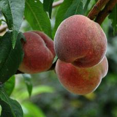 Fruitiers: pépinières, grossistes, producteurs et exportateurs de