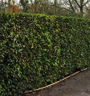 Leivormfruitbomen of een fruithaag zijn een lekker alternatief voor ...