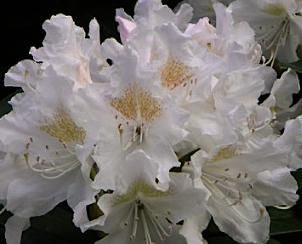 Rhododendron-Cunninghams-White_closeup-flower