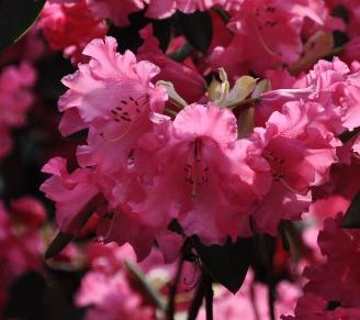 Rhododendron-Karin-