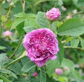 Rosa du maitre d 39 cole gallica roos - Moderne oude deco ...