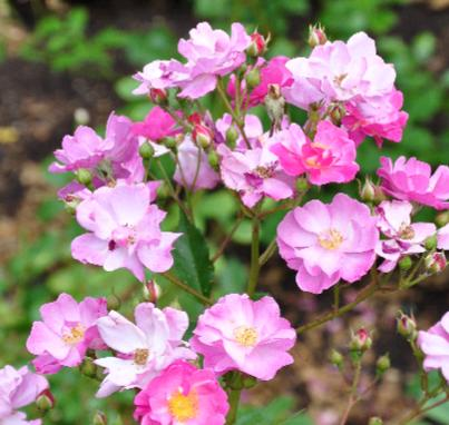 ROSA  'Lavender Dream ' syn. 'Interlav' - 1985 Interplant