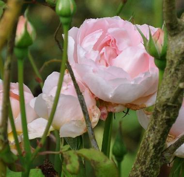 Andere links snoeien van rozen info per soort rozen klik hier