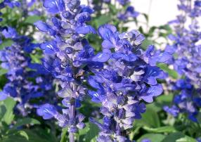 Salvia-farinacea-3