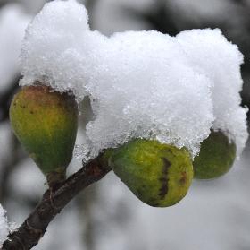 VijgenindesneeuwVN2