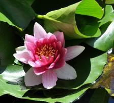 plante aquatique en ligne
